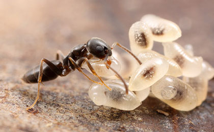 мравка