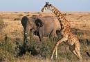 слон жираф 1